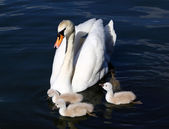 White Swan Cygnets with Mother in the water — Stock Photo