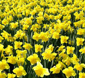 Outdoor shot of yellow daffodils in a nicely full flowerbed — Stock Photo
