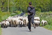 Sheep drive — Stock Photo