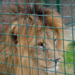 Lion prowling behind cage — Stock Photo