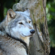 Stock Photo: Head and shoulders of timber wolf