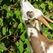 Goat feeding on leaves — Foto Stock