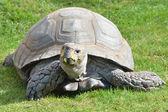 Tortoise on grass — Stock Photo