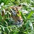 Tiger hiding in grass — Stock Photo
