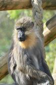 Mandrill monkey in zoo — Stock Photo