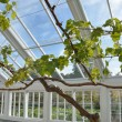 Stock Photo: Grape vine in greenhouse
