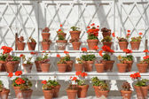 Rows of geraniums in greenhouse — Стоковое фото