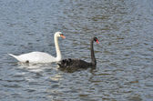 Black and white swans swimming togeter — Foto de Stock
