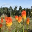 Group of red hot pokers — Stock Photo