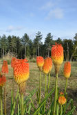Group of red hot pokers — Zdjęcie stockowe