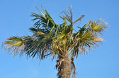 Palm tree in landscape with blue sky background — Stock Photo