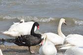 Single Black Swan amongst white swans — Stock Photo