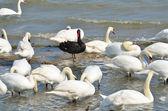 черный лебедь стоял среди белых лебедей — Стоковое фото