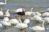 Black swan standing out amongst white swans — Photo