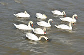 Group of swans — Stock Photo