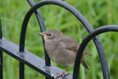Young urban starling on fence — Stock Photo