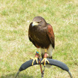 Stock Photo: Brown Hawk on Perch