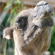 Stock Photo: Head of Camel