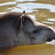Young Tapir in water — Stock Photo