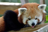 Head of red panda — Stock Photo