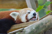 Red panda resting — Stock Photo