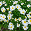 Large group of Daisies — Stock Photo