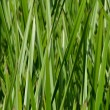 Dense Green reeds — Stock Photo