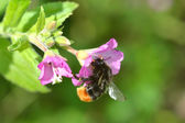 Bee getting Nectar on Vetch — Stock Photo
