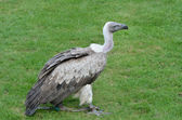 Young African Vulture — Stock Photo