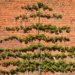 Large fruit tree trained on brick wall — Stock Photo