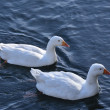 Two white geese — Stock Photo
