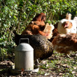 Free range Chickens — Stock Photo