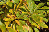 Autumn sweet chestnut leaves — Stock Photo