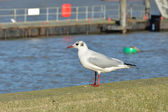 Single gull standing on wall — 图库照片