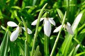 Small group of snowdrops — Stock Photo