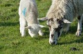 Ewe and lamb feeding — Stock Photo