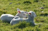 Two lambs lying in field — Zdjęcie stockowe