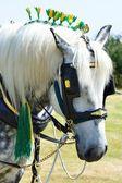 White shire horse portrait — Stock Photo