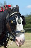 Head of shire horse — Stock Photo