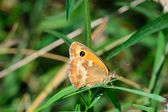 Small Heath Butterfly — Stock Photo
