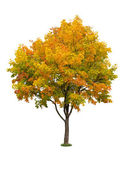 Autumn tree isolated — Stock Photo