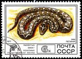 蝰蛇棱背 — 图库照片