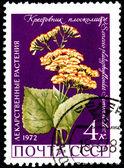 Senecio Platyphylloides — 图库照片