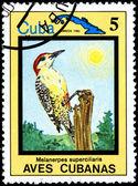Melanerpes Superciliaris, from Series Cuban Birds — Stock Photo