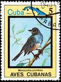 Mimocichla plumbea, ze série kubánské ptáků — Stock fotografie