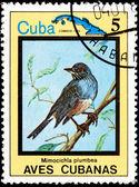 Serisi küba kuşlar mimocichla plumbea — Stok fotoğraf