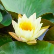 Yellow water lily in pond - Foto de Stock