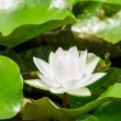 White water lily in pond - Foto de Stock