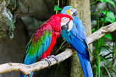Red macaw — Stock Photo