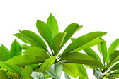 Green leaves isolated on white background — Stock Photo
